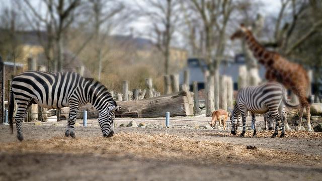 koppenhágai állatkert Frederiksbergben